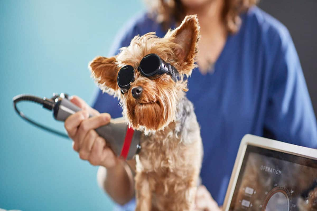 Veterinarian cold laser therapy