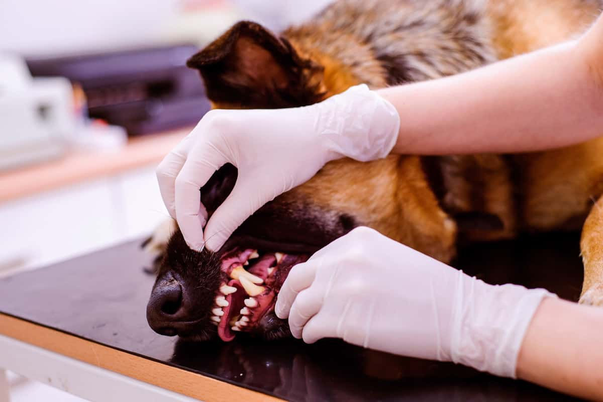 Dentistry Veterinarian examining German Shepherd dog with sore mouth in Oceanside NY